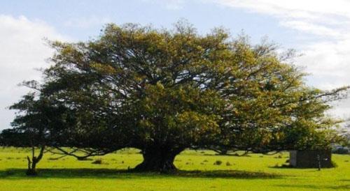 Pohon Ficus Natalensis