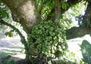 Pohon Ficus Nota