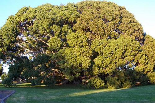 Pohon Ficus Oblique