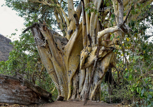 Pohon Ficus Petiolaris