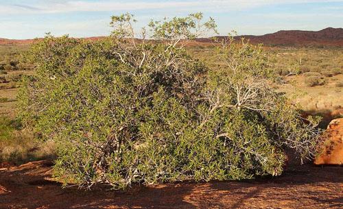 Pohon Ficus Platypoda