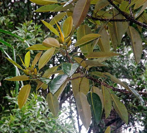 Pohon Ficus Pleurocarpa