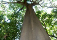 Pohon Ficus Polita