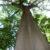 Ciri-Ciri Pohon Ficus Polita yang Harus Diketahui