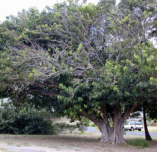 Pohon Ficus Religiosa