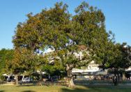 Pohon Ficus Rubiginosa