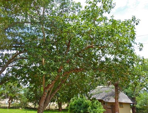 Pohon Ficus Sansibarica