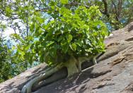Pohon Ficus abutilifolia