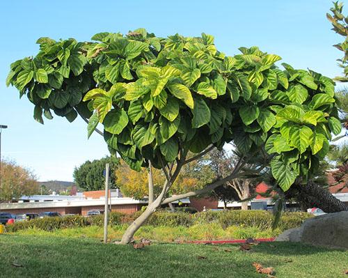 Pohon Ficus auriculata