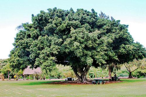 Pohon Kimeng Ficus Microcarpa