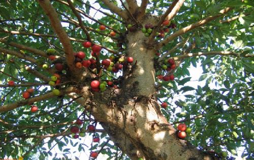 Pohon Loa Ficus Racemosa