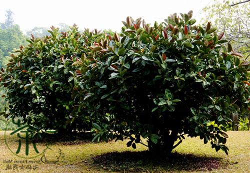 Pohon Pohon Karet Kebo Ficus Elastica
