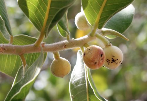 Semut menyukai buah Ficus Platypoda