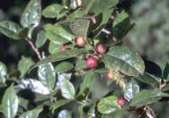 Pohon Ficus Bojeri