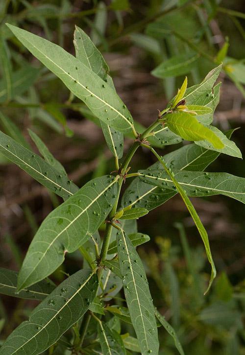 Pohon Ficus Capreifolia