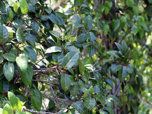 Pohon Ficus Pantoniana