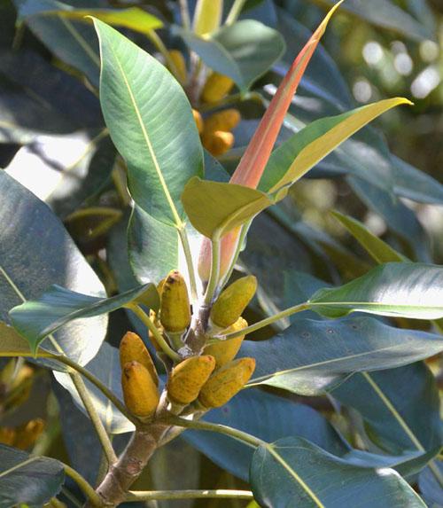 Tanaman Ficus Pleurocarpa
