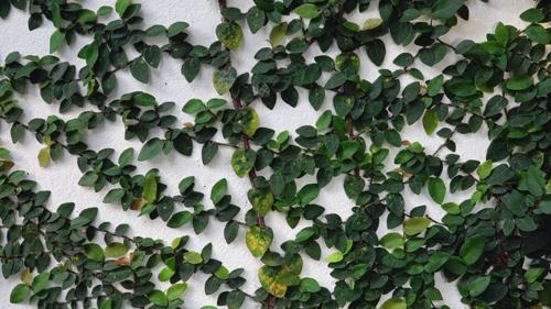 Tanaman Ficus Pumila