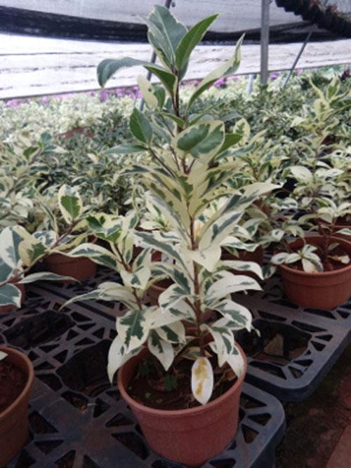 Tanaman Ficus Variegate di Pot