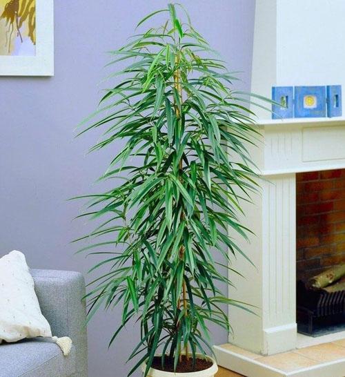Tanaman Hias Ficus Maclellandii