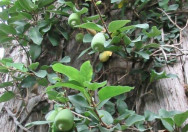 Tanaman Rambat Ficus Pumila