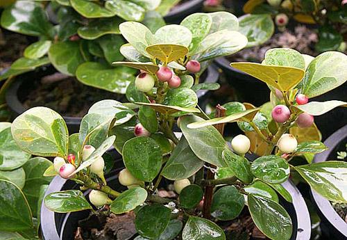 Pohon Tabat Barito Ficus deltoidea