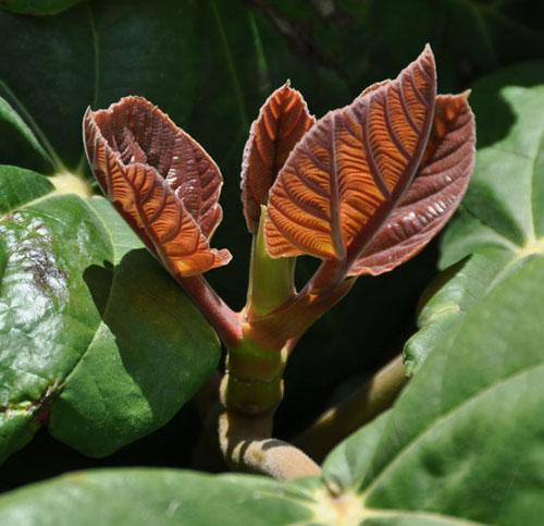Tunas Daun Ficus Auriculata