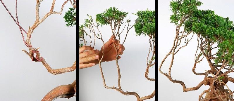 Cara membentuk tanaman bonsai