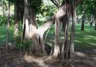 Akar Udara Ficus Aurea