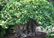 Bonsai Ficus Natalensis