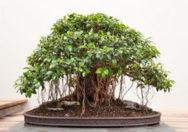 Bonsai Ficus Oblique