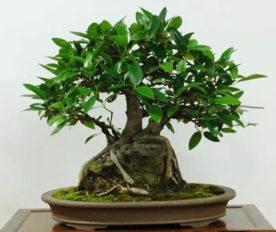 Bonsai Ficus Platypoda