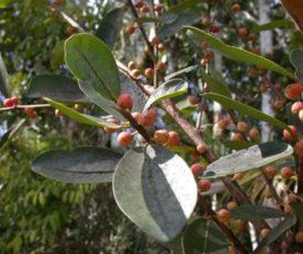 Buah Ficus Americana