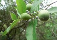 Buah Ficus Capreifolia