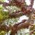Mengetahui Ciri Khusus Pohon Ficus Sansibarica
