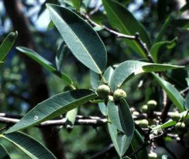Daun Ficus Salicifolia