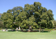 Pohon Ficus Altissima