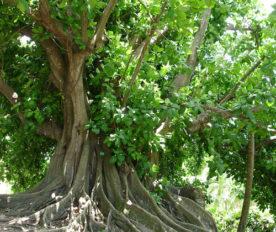 Pohon Ficus Citrifolia