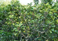 Tanaman Ficus Crassipes