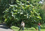 Pohon Ficus Dammaropsis