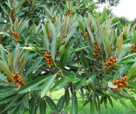 Tanaman Ficus Destruens