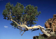 Pohon Ficus Glumosa