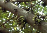 Pohon Ficus Hispida