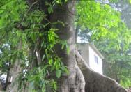 Pohon Ficus Maxima