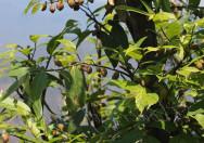 Tanaman Ficus Sarmentosa