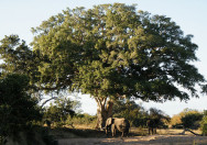 Pohon Ficus Sycomorus