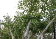 Pohon Ficus Tinctoria