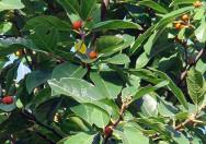Tanaman Ficus Fraseri Amplas Putih
