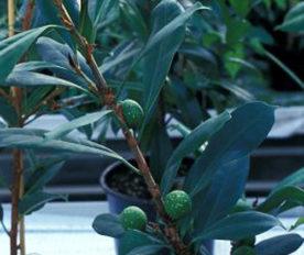 Tanaman Hias Ficus Cyathistipula